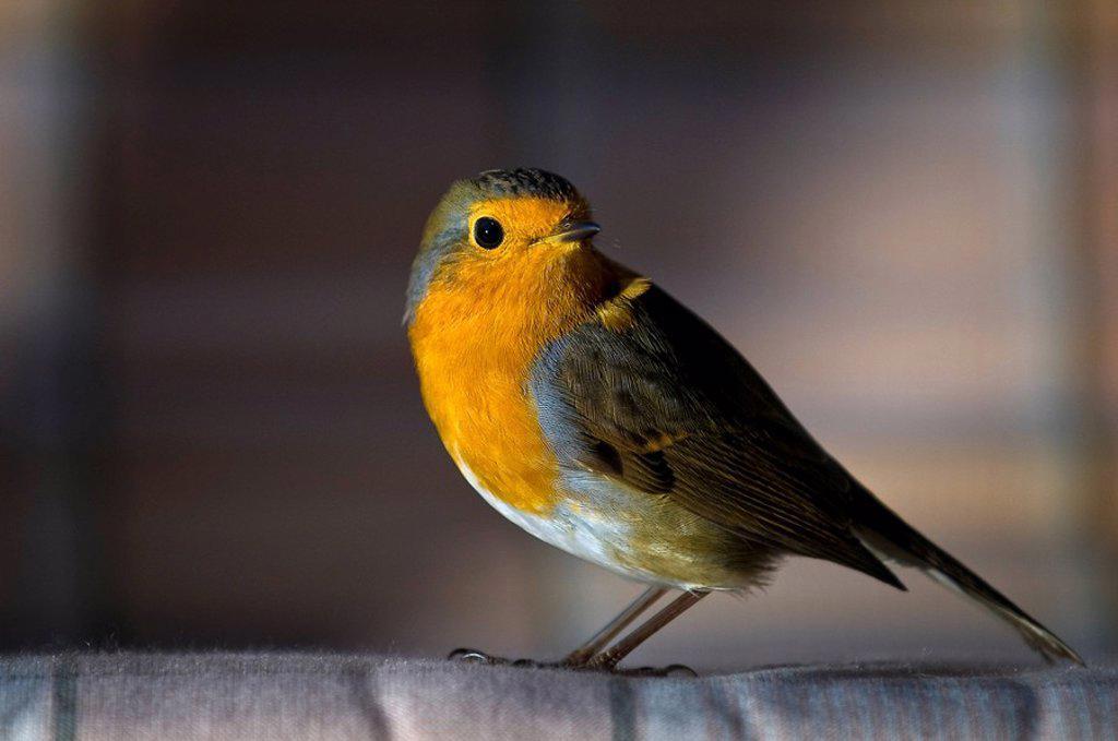 Close_up of European Robin Erithacus rubecula : Stock Photo