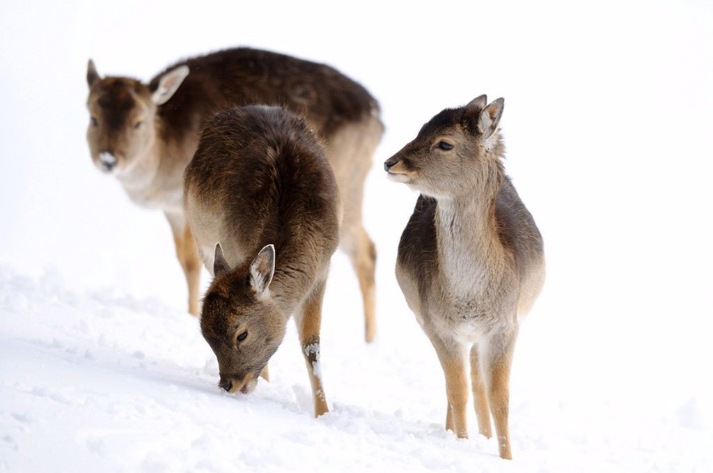 Stock Photo: 1841-39387 Fallow deers Ovis orientalis musimon in the snow, Bavaria, Germany