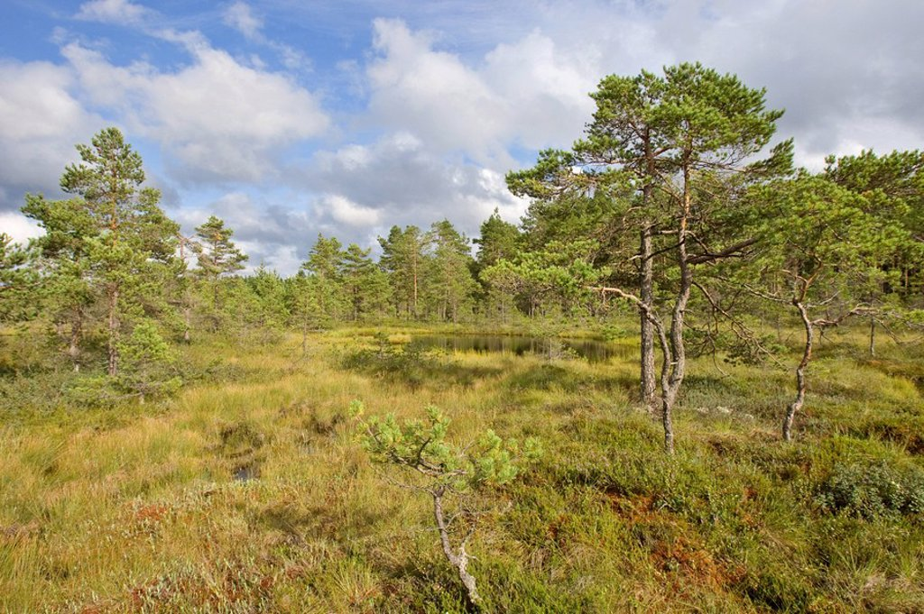 Coniferous trees in forest, Sweden : Stock Photo