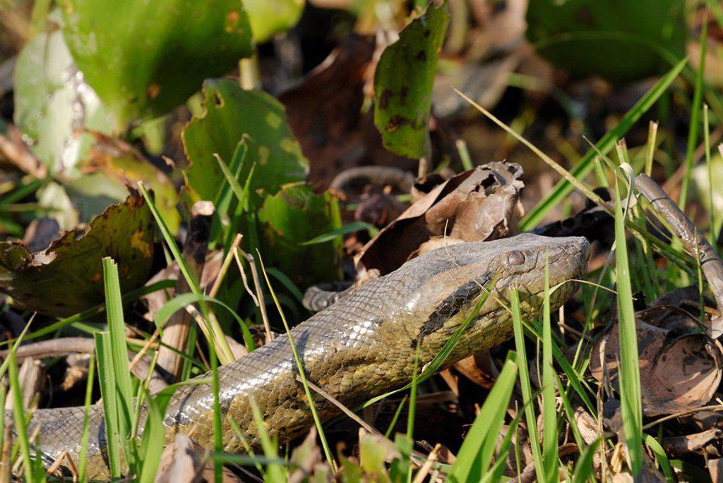 Stock Photo: 1841-40427 Close_up of anaconda in field
