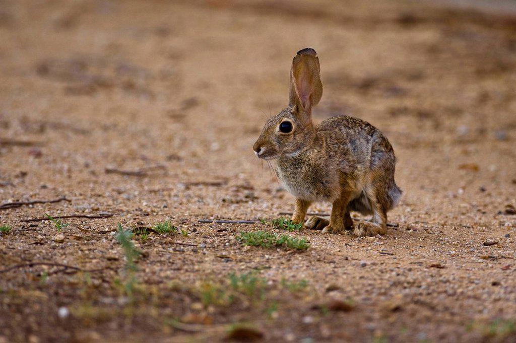 Stock Photo: 1841-40572 Rabbit on sandy soil, Phoenix, Arizona, side view
