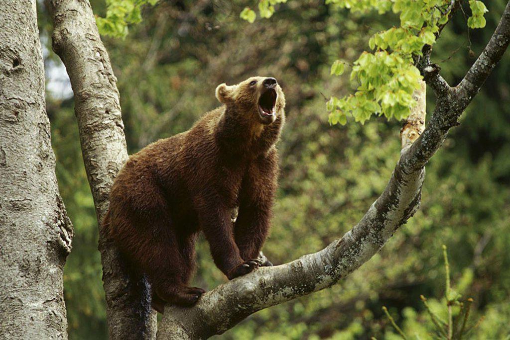 European Brownbear Ursus arctos snarling on tree : Stock Photo