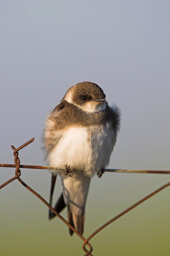 Bank Swallow Riparia riparia sitting on chain_link fence, close_up : Stock Photo