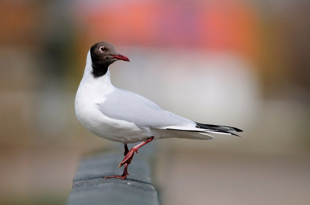 Black_headed gull Larus ridibundus, side view : Stock Photo
