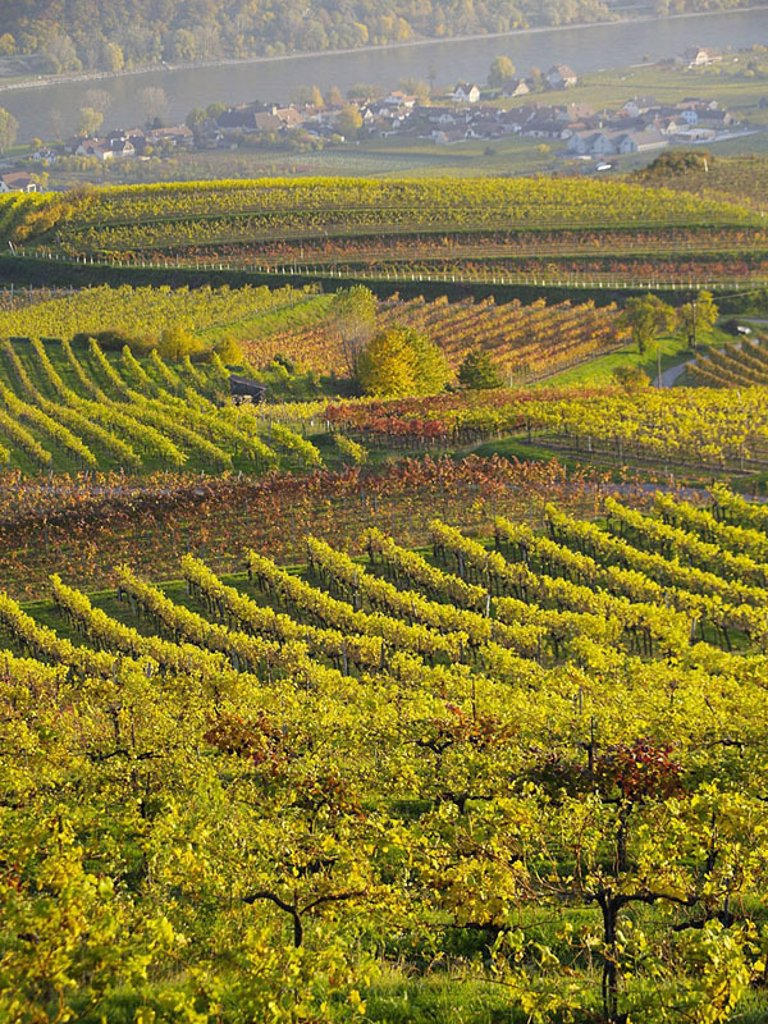 Stock Photo: 1841-43406 High angle view of vineyards with village in background, Wachau, Austria