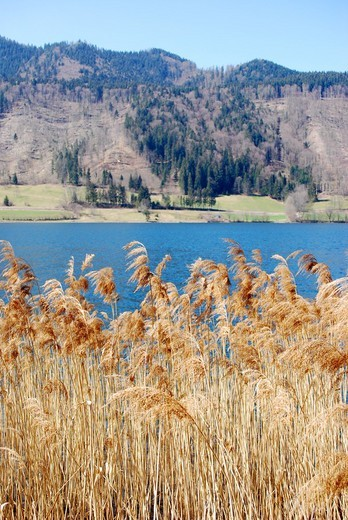 Reed plants at lakeside, Schliersee, Bavaria, Germany : Stock Photo