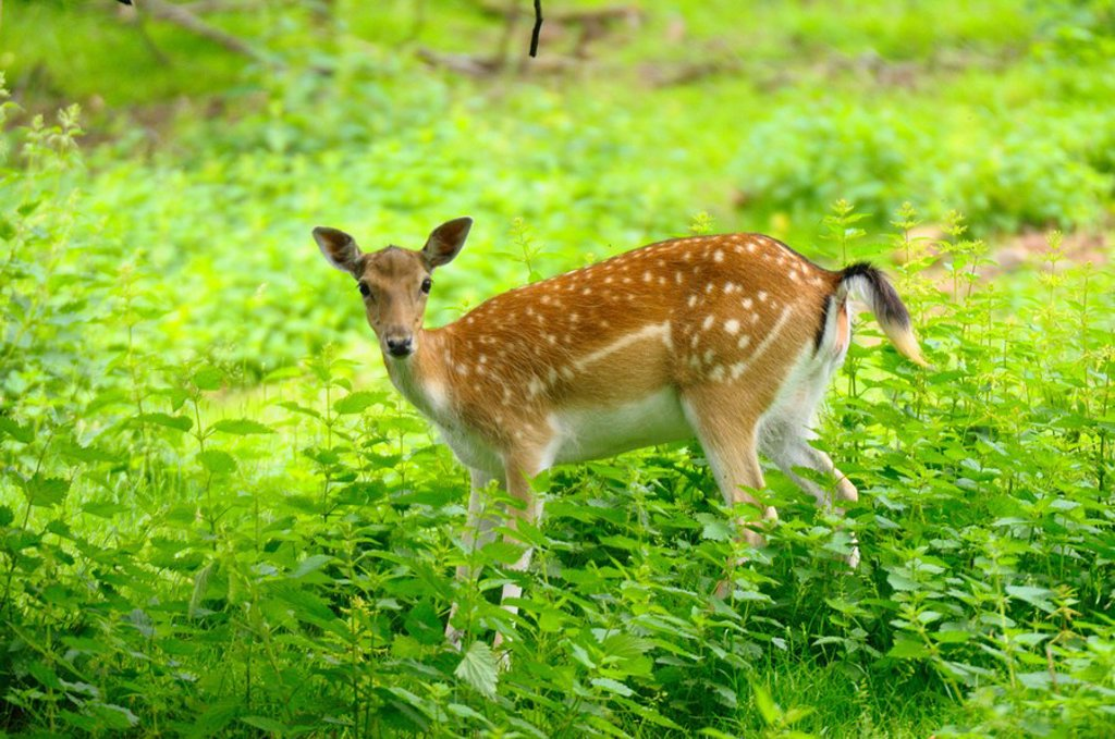 Fallow deer Cervus dama buck in forest : Stock Photo