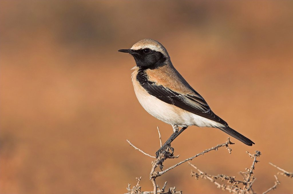 Close_up of Desert Wheatear Oenanthe deserti perching on twig : Stock Photo