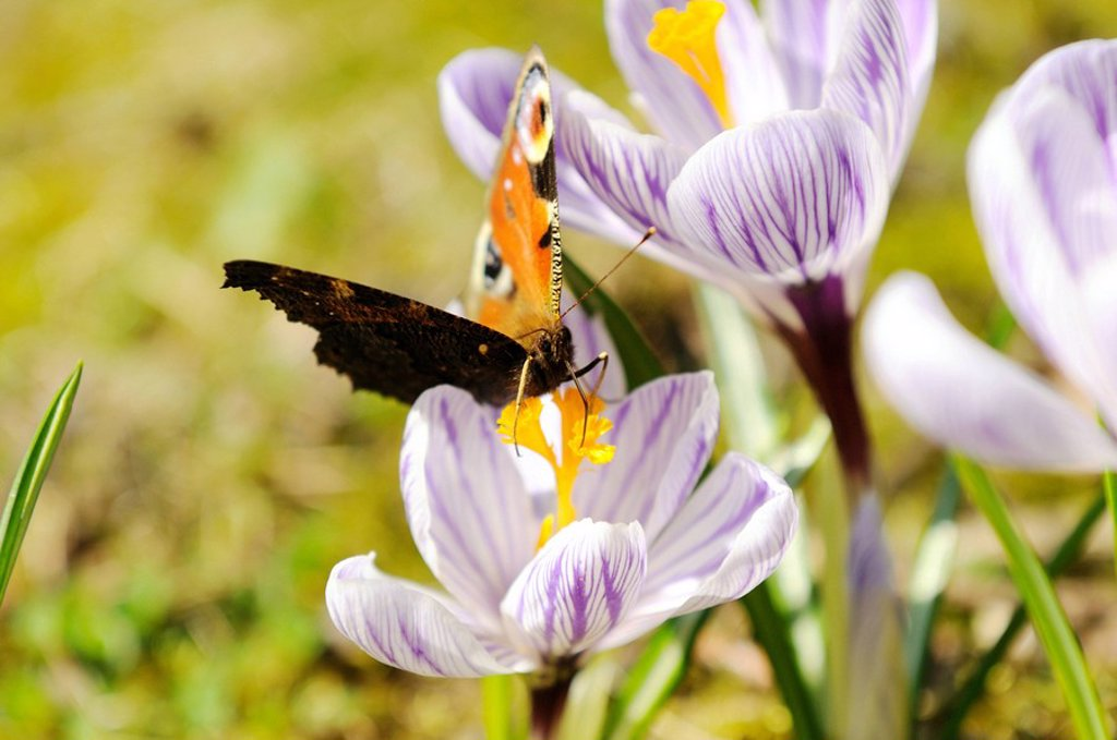 Close_up of peacock butterfly pollinating crocus flower in field, Franconia, Bavaria, Germany : Stock Photo