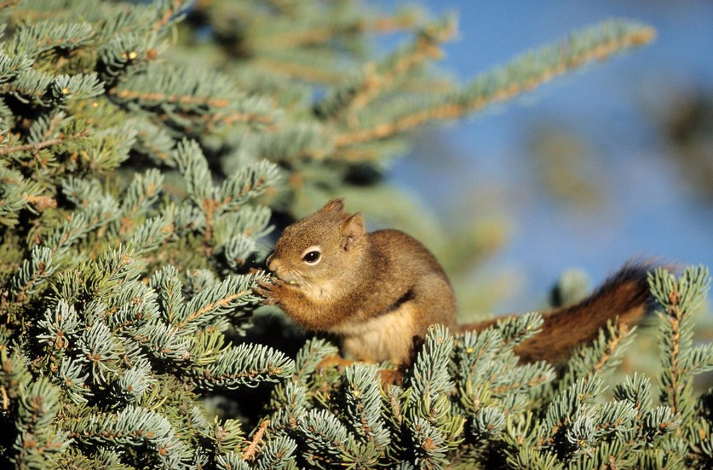 Red Squirrel Tamiasciurus hudsonicus sitting on a tree branch and eating, Katmai National Park, USA, close_up : Stock Photo