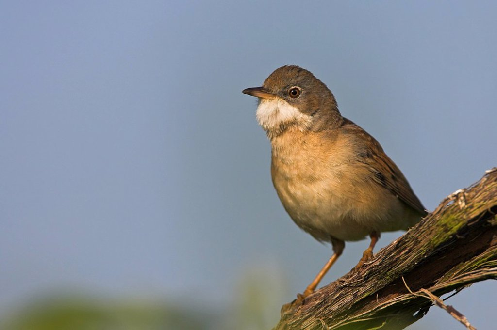 Stock Photo: 1841-45819 Close_up of Whitethroat Sylvia Communis perching on branch