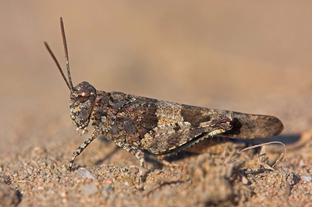 blue_winged grasshopper, Oedipoda caerulescen, close_up : Stock Photo