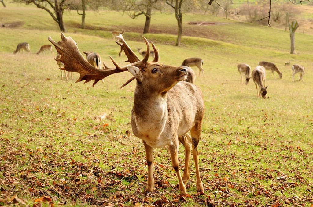 Fallow deer Dama dama, herd in the background : Stock Photo