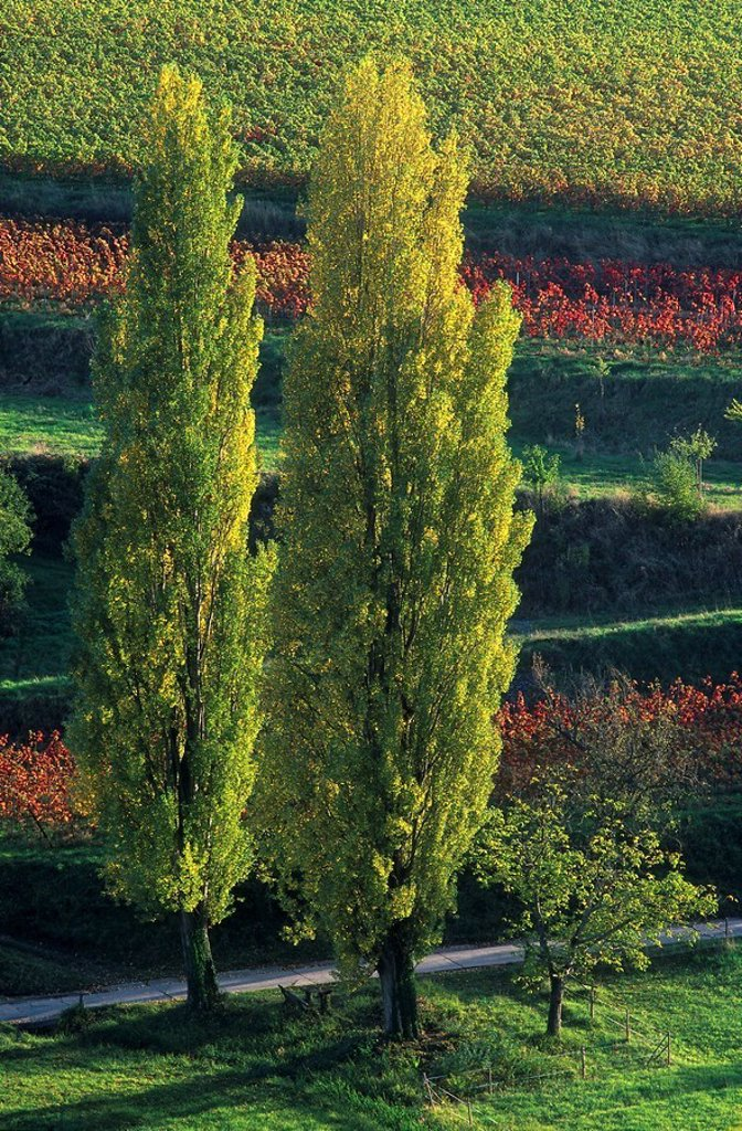 Poplar trees on rural landscape, Germany : Stock Photo
