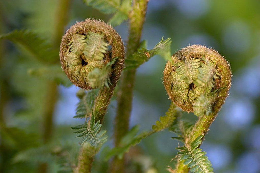 Stock Photo: 1841-46380 Close_up of sprout of lady fern