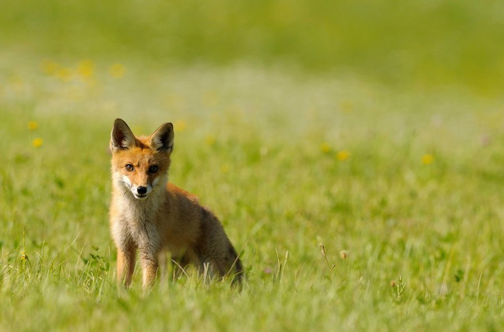 Red fox Vulpes vulpes sitting on a meadow : Stock Photo