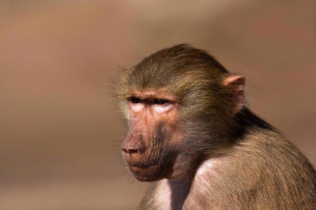 Close_up of Hamadryas Baboon Papio hamadryas : Stock Photo