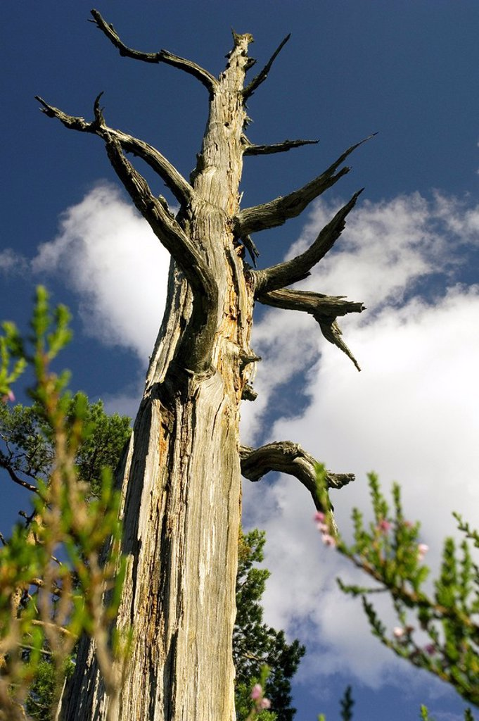 Low angle view of bare tree, Roholtfjell, Telemark, Norway : Stock Photo
