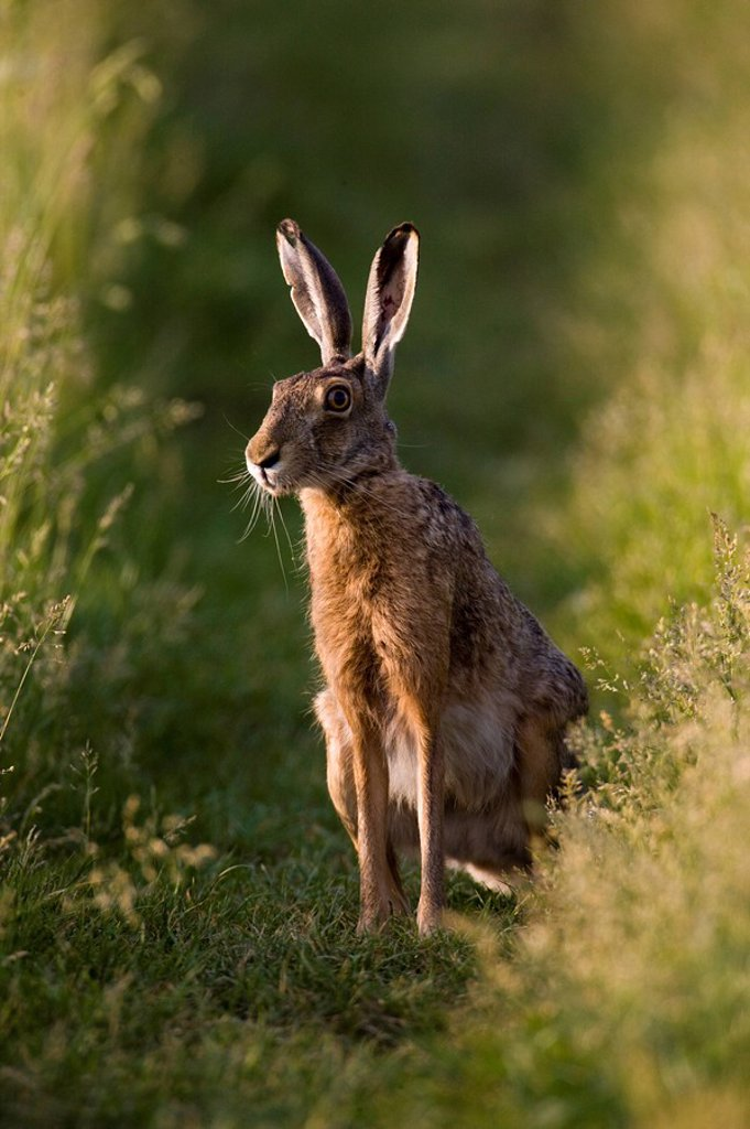 Brown Hare Lepus capensis in field : Stock Photo