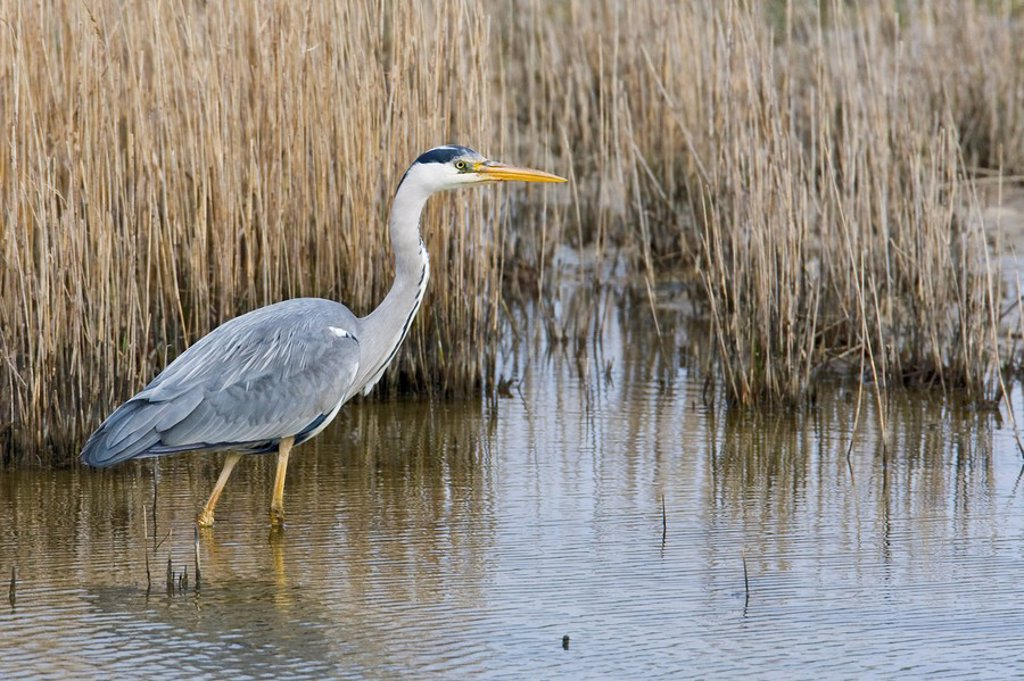 Close_up of Grey Heron Ardea cinerea walking in lake : Stock Photo