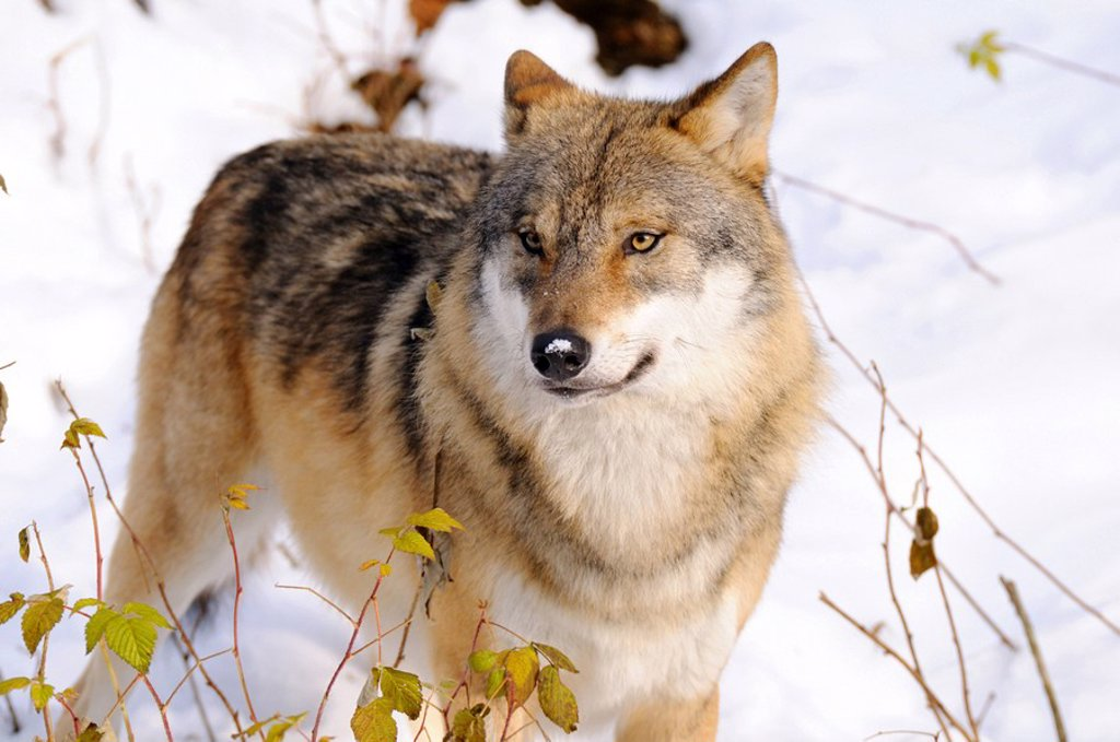 Stock Photo: 1841-51356 Grey wolf Canis lupus in forest, Bavarian Forest National Park, Bavaria, Germany