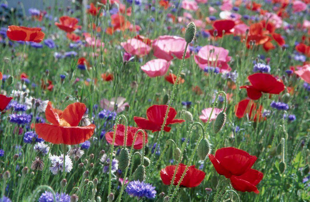 Corn Poppy Papaver rhoeas flowers blooming in field : Stock Photo