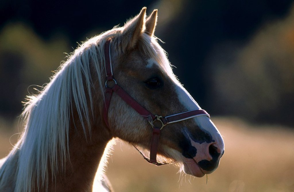 Close_up of head of Haflinger horse : Stock Photo
