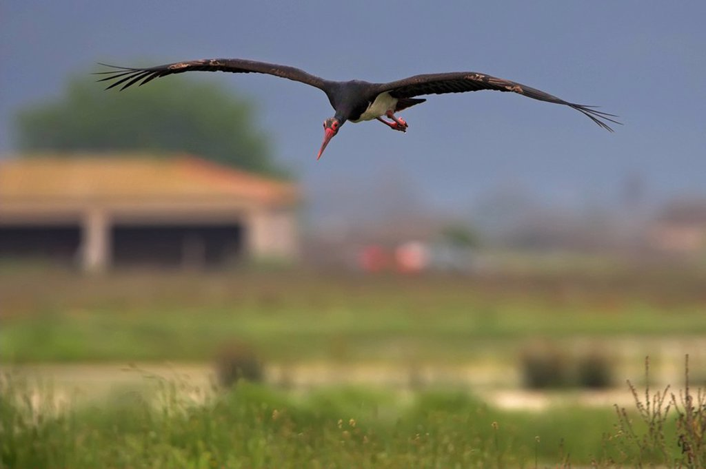 Black Stork Ciconia nigra in gliding flight, front view : Stock Photo