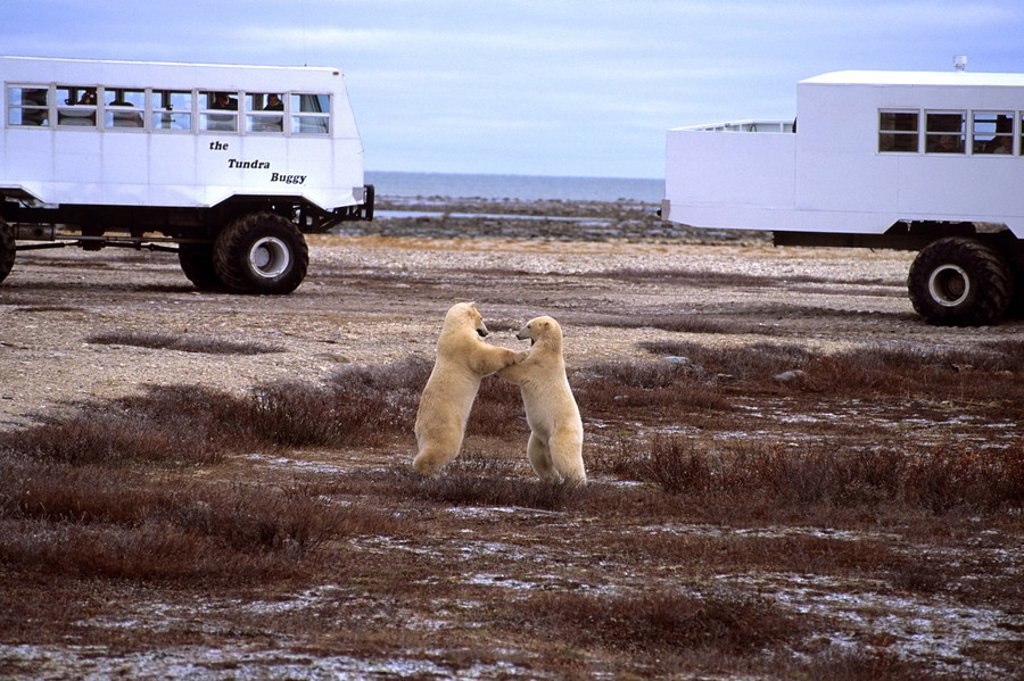 Two polar bears fighting in tundra, Cape Churchill, Canada : Stock Photo