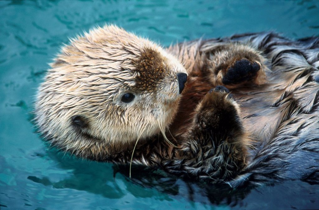 Close_up of River otterLutra canadensis swimming in water : Stock Photo