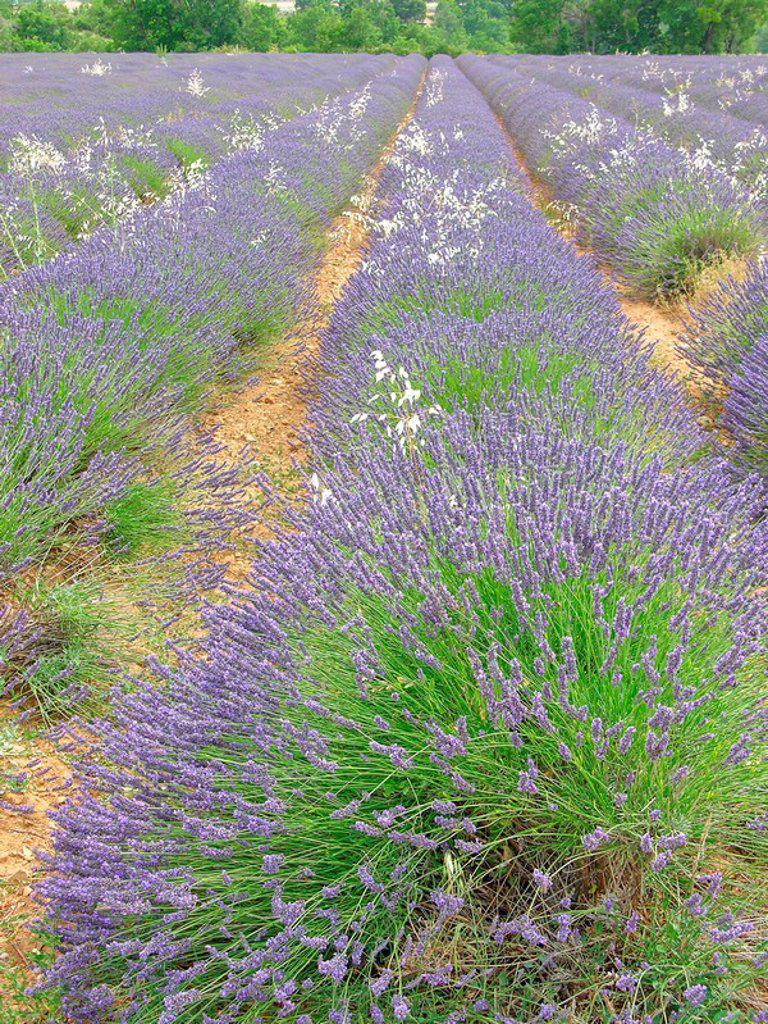 Stock Photo: 1841-54411 Lavender field diminishing into perspective, Plateau De Valensole, Alpes_De_Haute_Provence, France