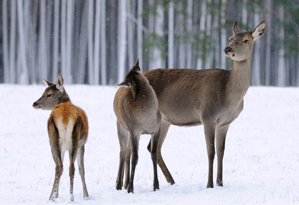 Red deer Cervus elaphus standing on polar landscape in forest with its fawn, Franconia, Bavaria, Germany : Stock Photo