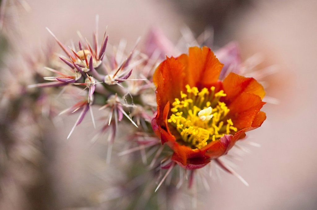 Stock Photo: 1841-55752 Flowering cactus in the Desert Botanical Garden, Phoenix, Arizona, USA, close_up