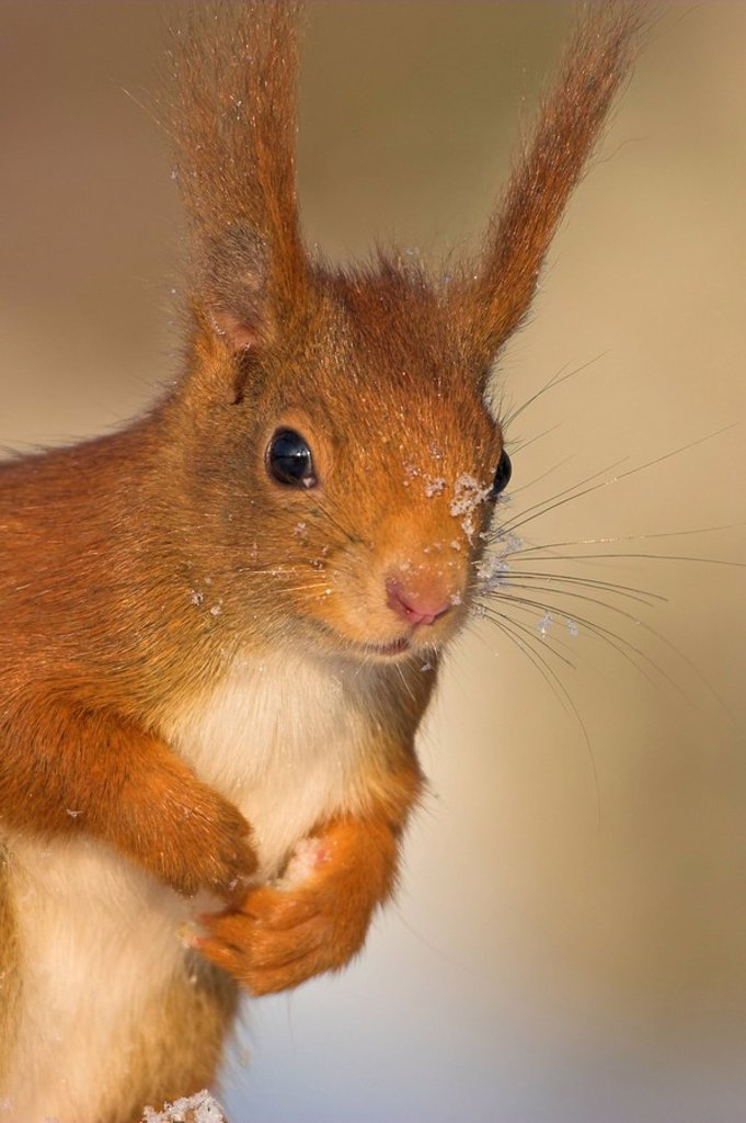 Close_up of Red Squirrel Sciurus Vulgaris : Stock Photo