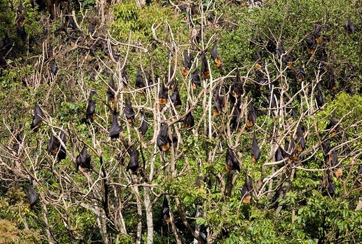 Flying foxes hanging on tree, New South Wales, Australia : Stock Photo