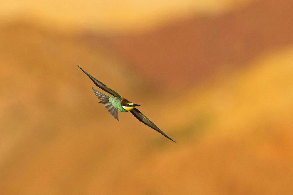 Stock Photo: 1841-56783 European Bee_eater Merops apiaster in flight