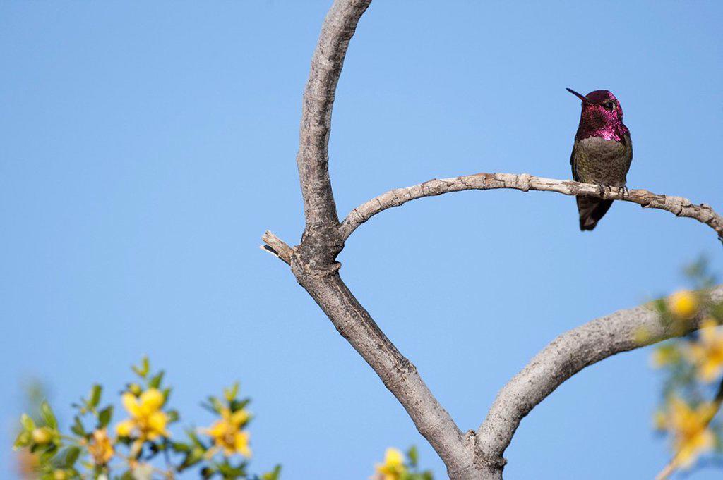 Hummingbird perching on a twig, Arizona, USA, low angle view : Stock Photo