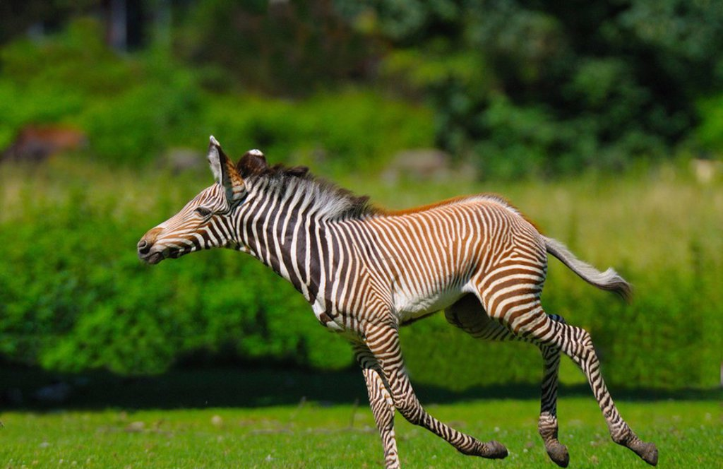 Burchell´s zebra Equus quagga quagga running in field : Stock Photo