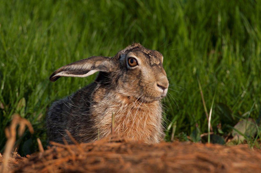 field hare, Lepus capensis, portrait : Stock Photo