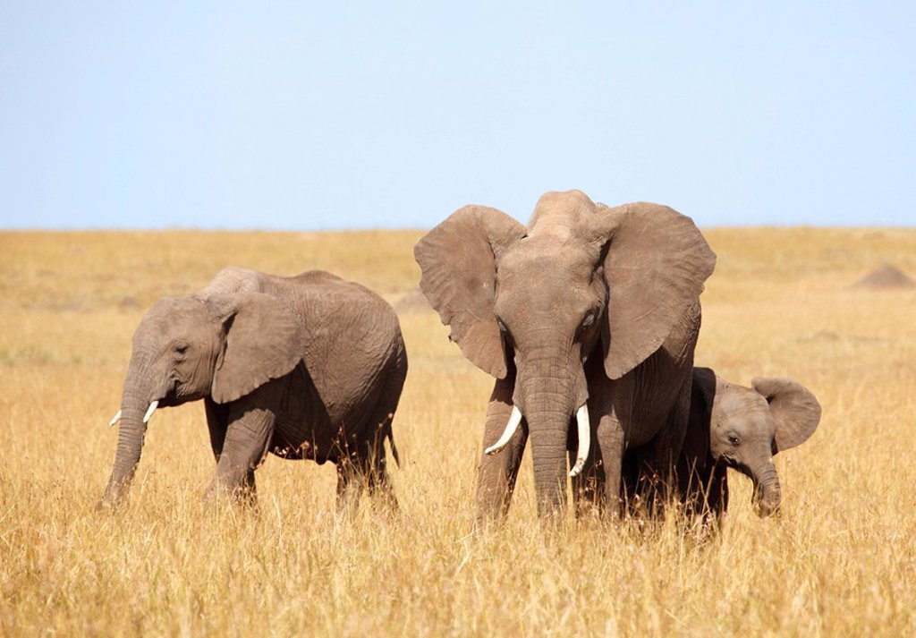 Stock Photo: 1841-57537 African elephants Loxodonta africana eating, Masai Mara National Reserve, Kenya