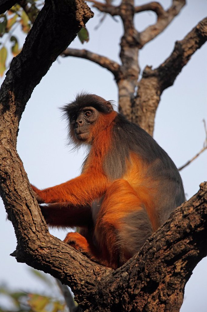 Stock Photo: 1841-57583 Western Red Colobus, Piliocolobus badius, Gambia, West Africa, Africa
