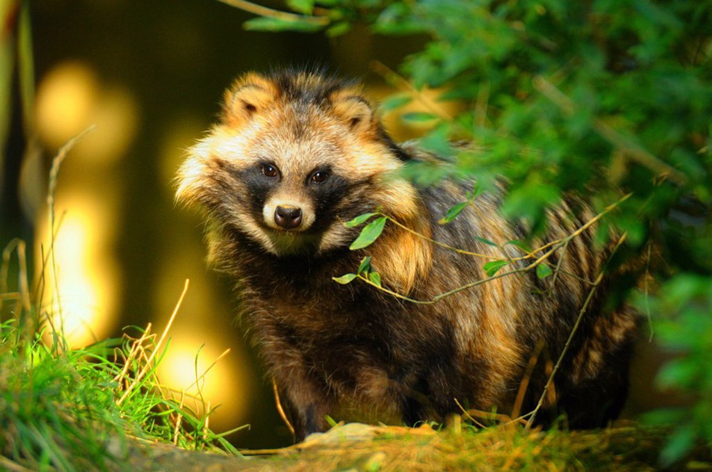 Stock Photo: 1841-57998 Raccoon Procyon lotor standing in forest