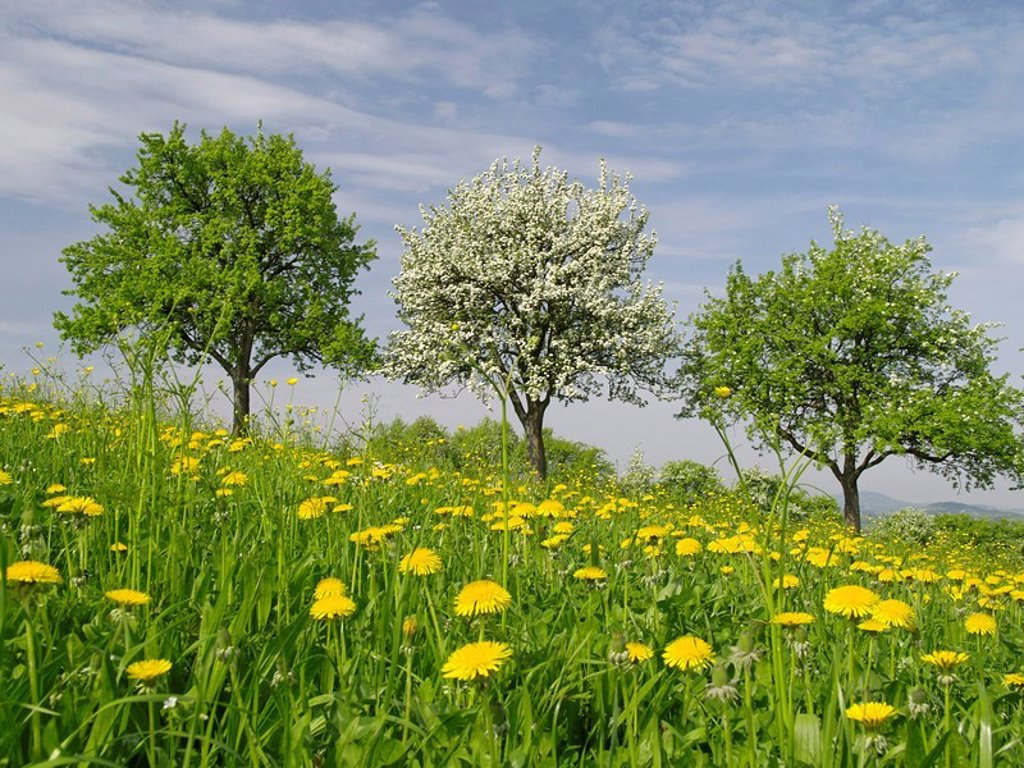 Apple trees blooming in field : Stock Photo