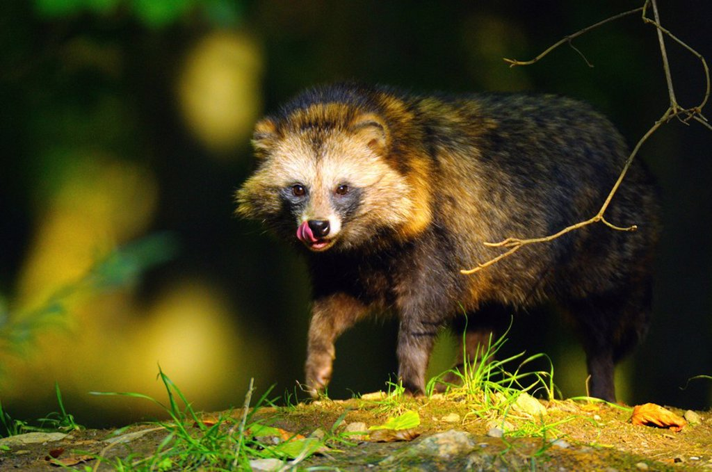 Raccoon Procyon lotor standing in forest : Stock Photo