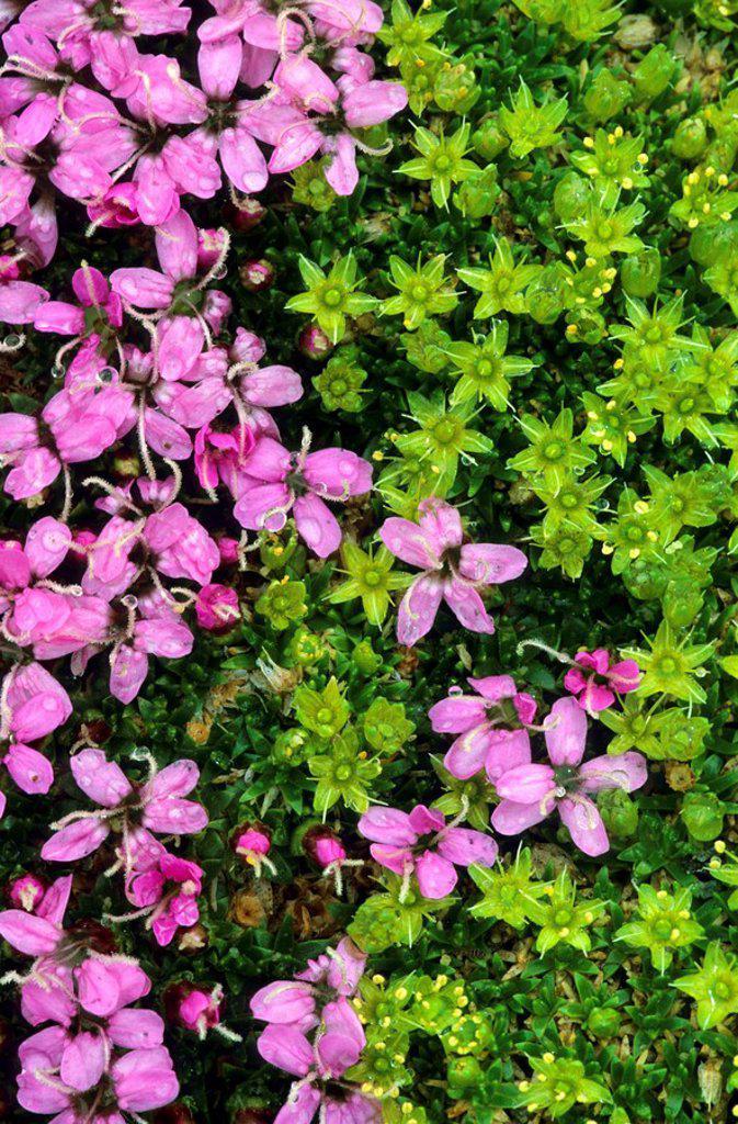 Moss Campion Silene acaulis flowers blooming in field, Hohen Tauern, Austria : Stock Photo