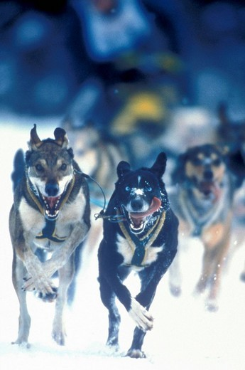Dogs running in sled race, Alaska, USA : Stock Photo