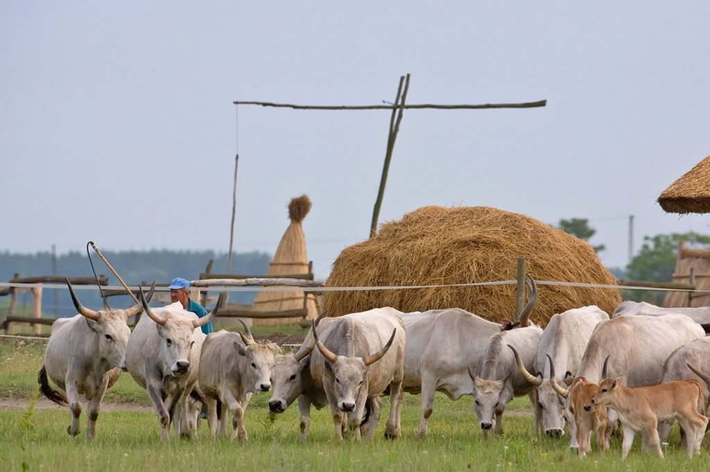 Stock Photo: 1841-5967 Man herding cows in field, Hungary