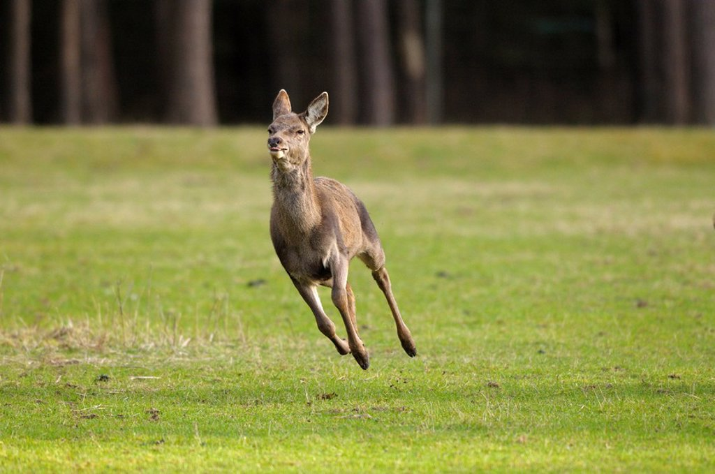 Red Deer Cervus elaphus running on meadow : Stock Photo
