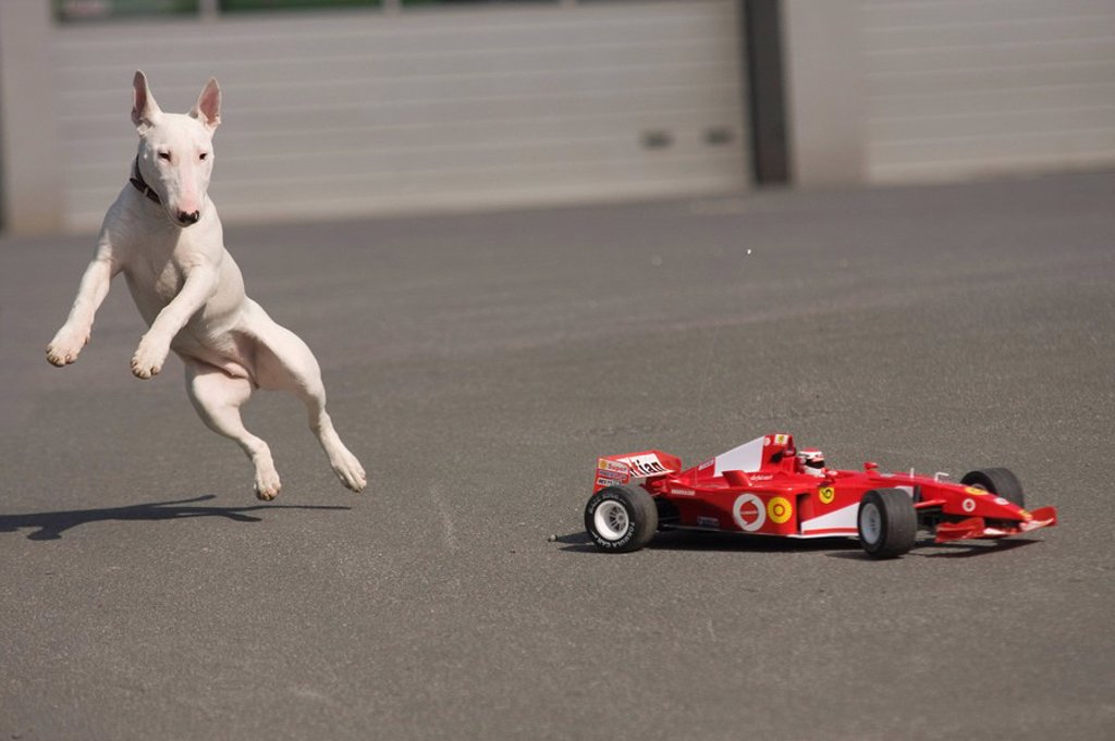 Stock Photo: 1841-7411 Bull terrier playing with a formular 1 car, full shot