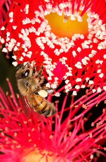 Close_up of honeybee pollinating on flower : Stock Photo